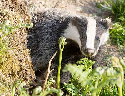 badger_emerging_4232
