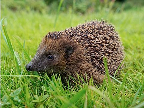 Hedgehog MAIN_0