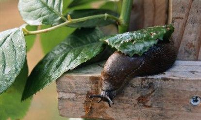 Garden slug