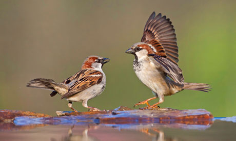 Country Diary : Two male house sparrows