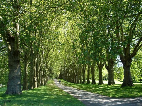 Avenue_of_trees_in_St_George's_Park_-_geograph.org.uk_-_492115