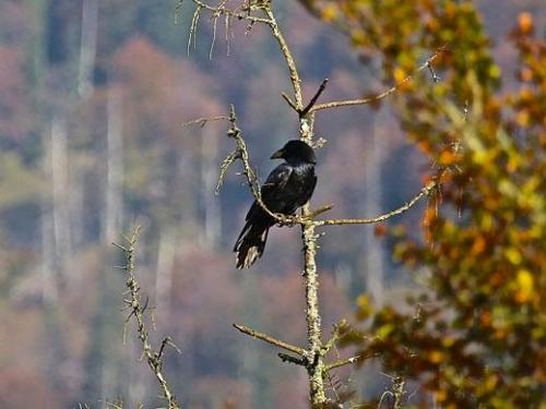 """Cognitive biologists now revealed that ravens use a """"divide and rule"""" strategy in dealing with the bonds of conspecifics. Credit: Jorg Massen"""